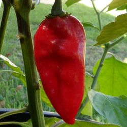 Devil's Tongue Red