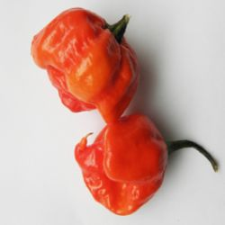 Trinidad Moruga Scorpion Red