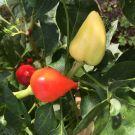 Rosemary Pepper